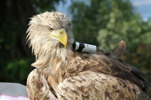 Un aigle équipé de l'Action Cam Mini de Sony.